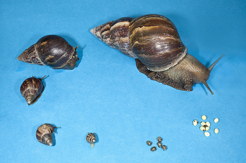 Giant african snail fresh from florida plant industry giant african land snails gals were found in miami dade county neighborhoods in september 2011 since then teams from the florida department of freerunsca Gallery