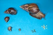 SnailLifeStages