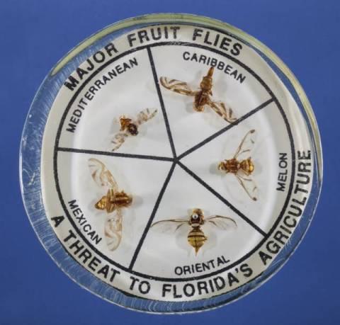 major-fruit-flies