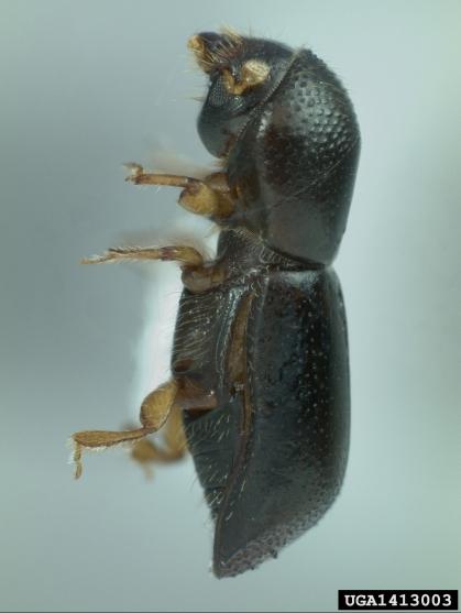 redbay-ambrosia-beetle2
