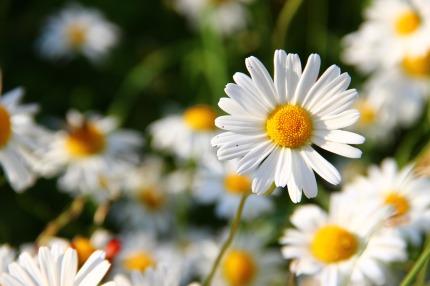 daisies-white-flower-face-59984
