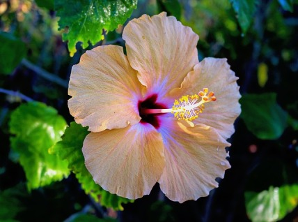 hibiscus-1998992_640