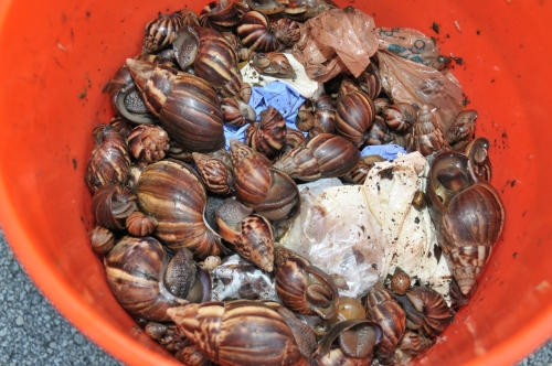 GALS Giant African Land Snail emergency operations Miami FL 9-13-2011