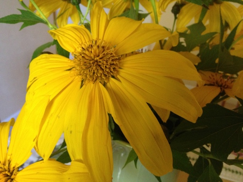 Tithonia diversifolia - Mexican sunflower