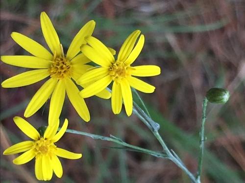 Pityopsis graminifolia - silk grass