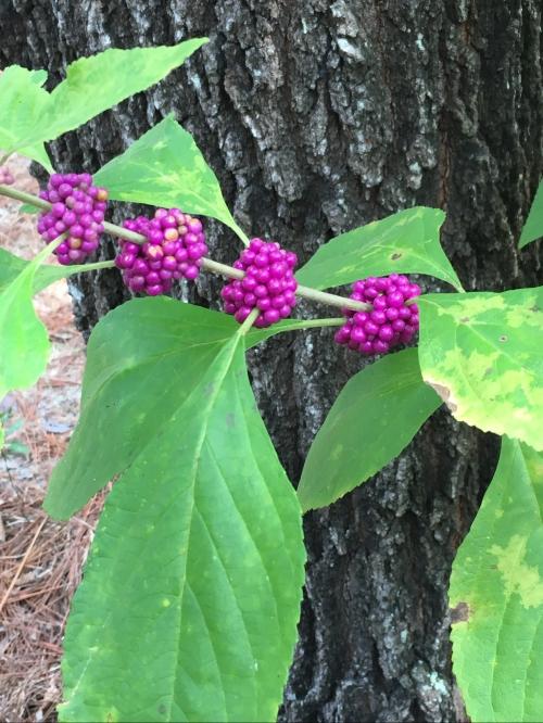 Calliarpa Americana - American beauty berry
