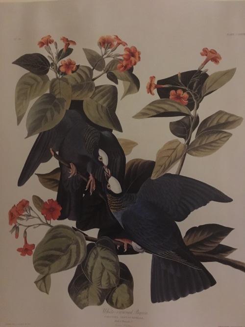 Cordia sebestena audubon